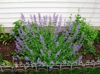 Ready Potted 1 Litre Pot   NEPETA FAASSINII WALKERS LOW CATMINT